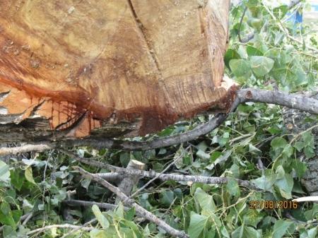 Вандалы вырубили 10 деревьев на территории коктебельского пансионата «Голубой залив»