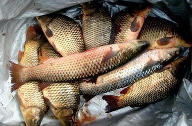 Штраф в 1 млн руб или три года лишения свободы грозит крымским браконьерам за улов пиленгаса и краснокнижного осетра