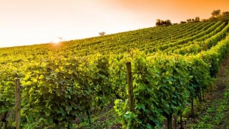 Власти Крыма рассчитывают удвоить площадь виноградников за пять лет